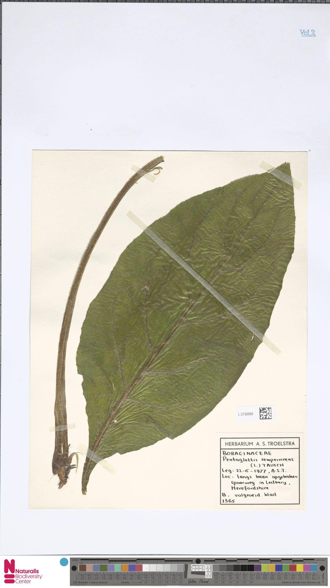 L.3736968 | Pentaglottis sempervirens (L.) L.H.Bailey