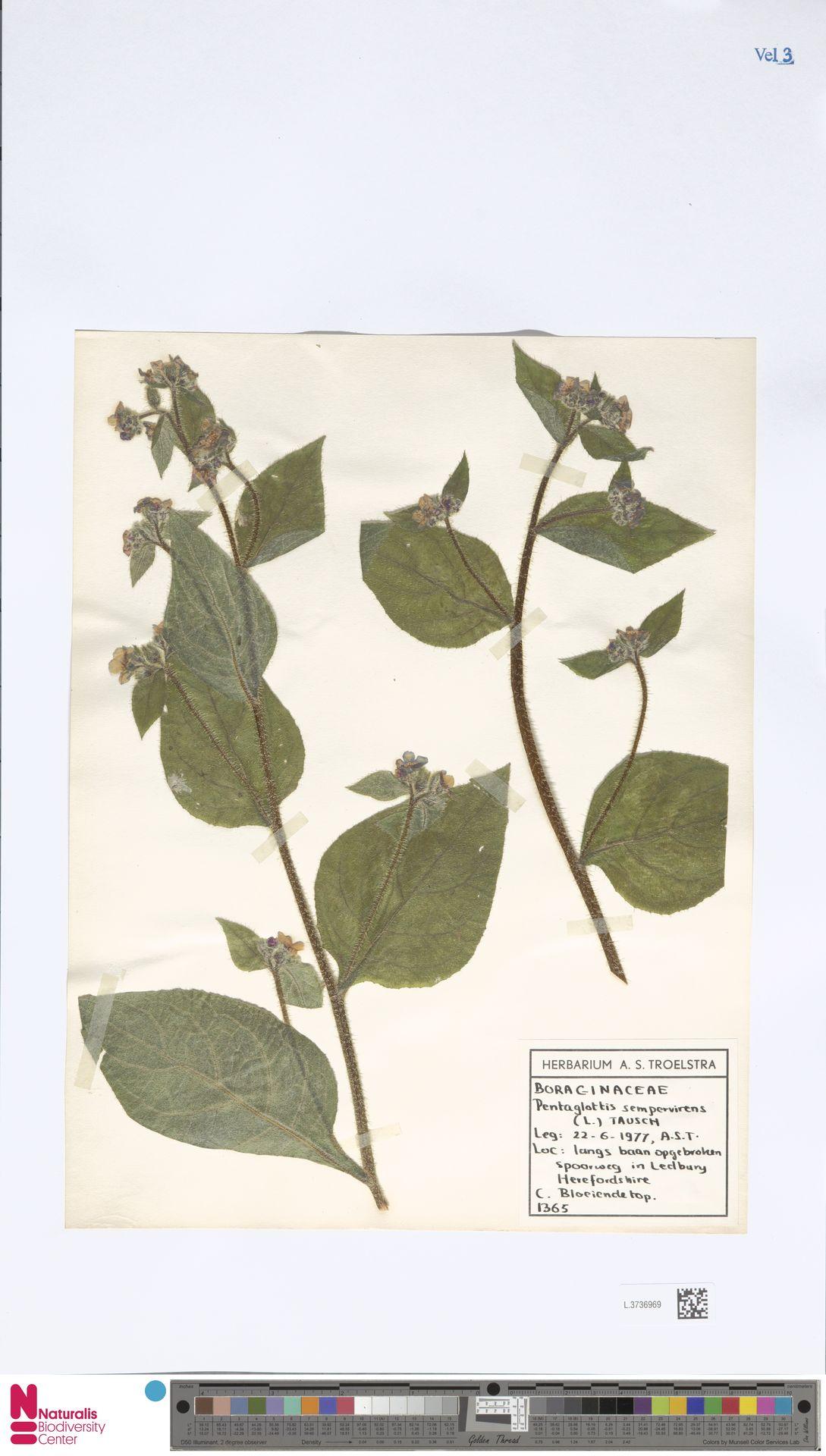 L.3736969   Pentaglottis sempervirens (L.) L.H.Bailey