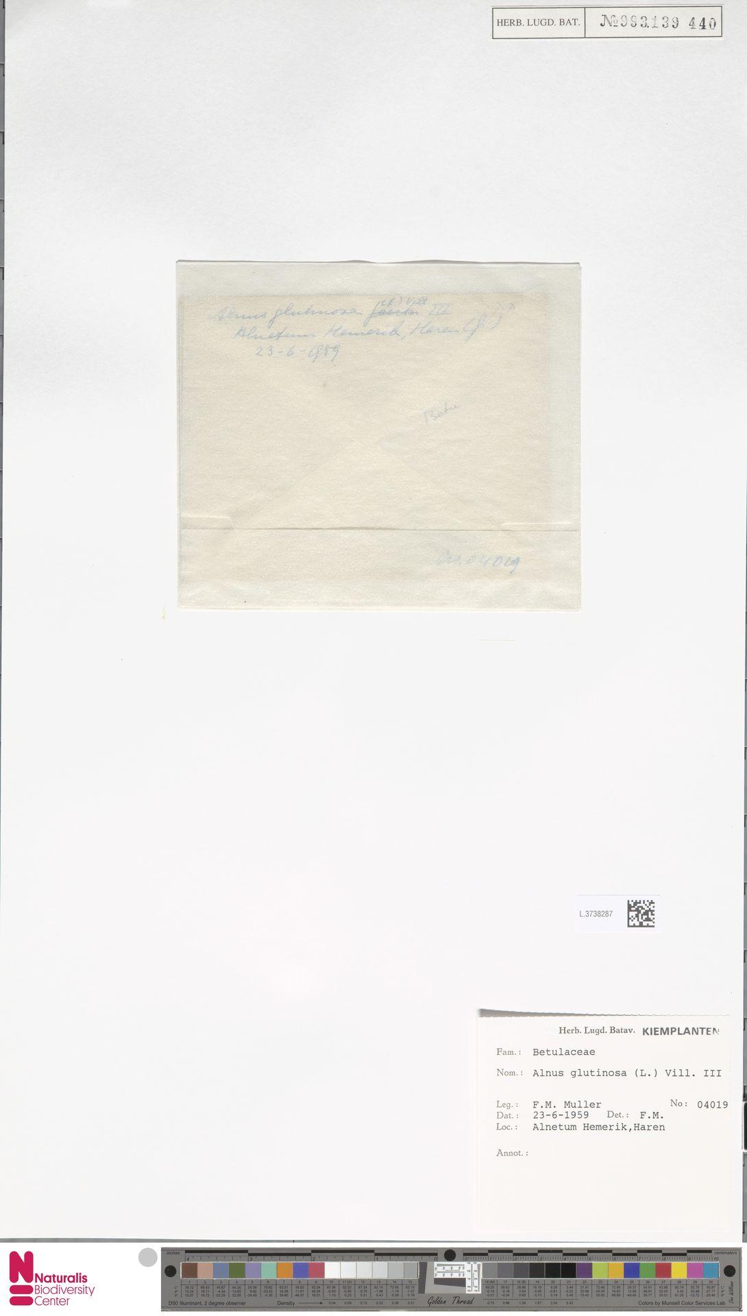 L.3738287 | Alnus glutinosa (L.) Gaertn.