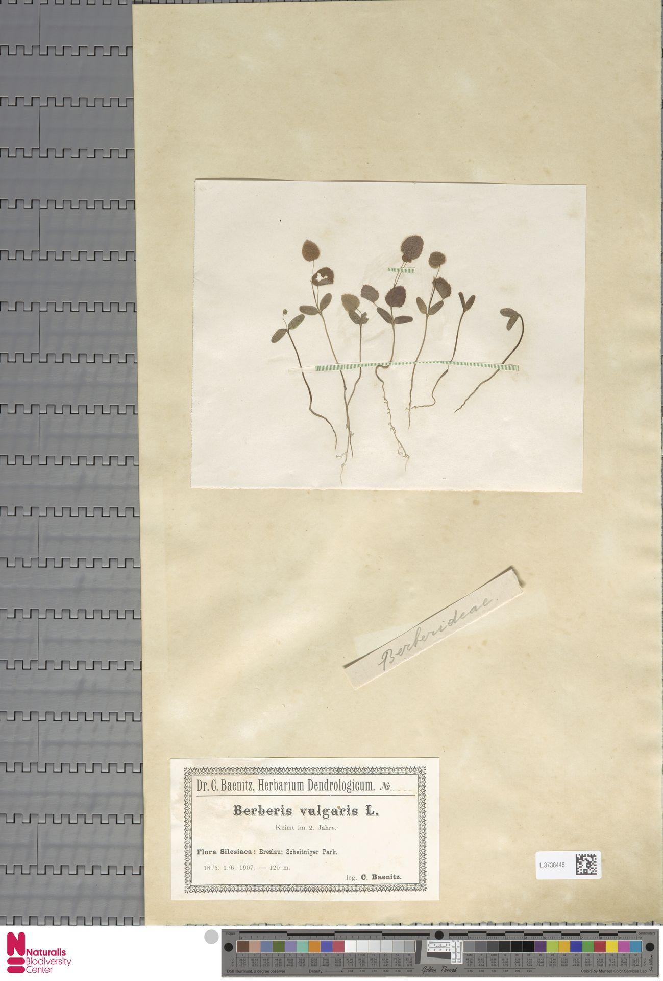L.3738445   Berberis vulgaris L.