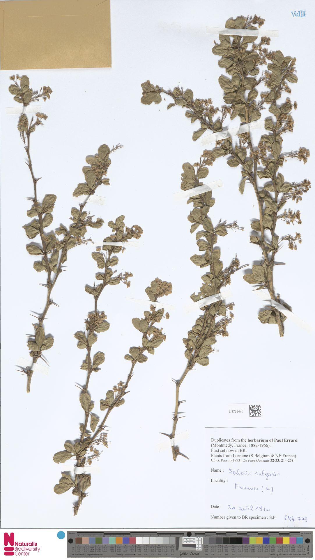 L.3738476 | Berberis vulgaris L.