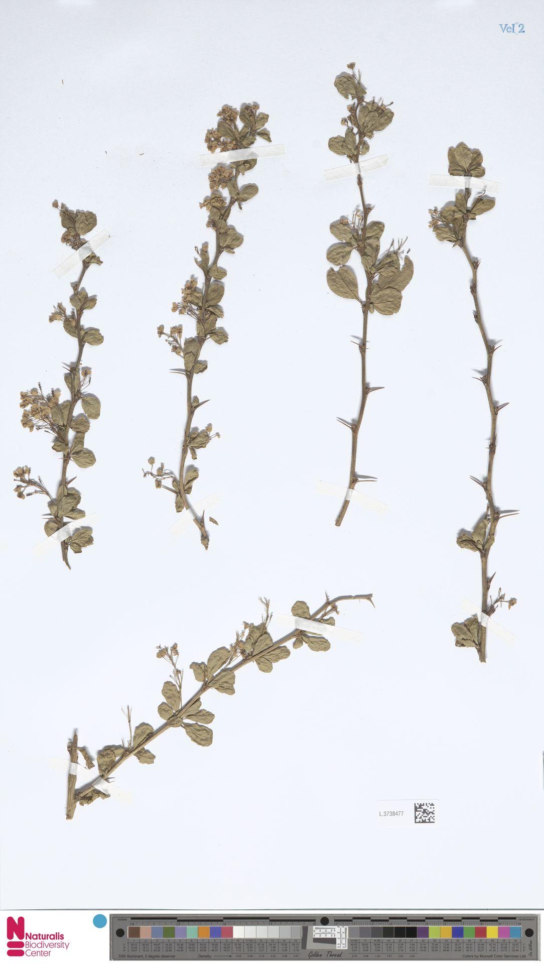 L.3738477   Berberis vulgaris L.