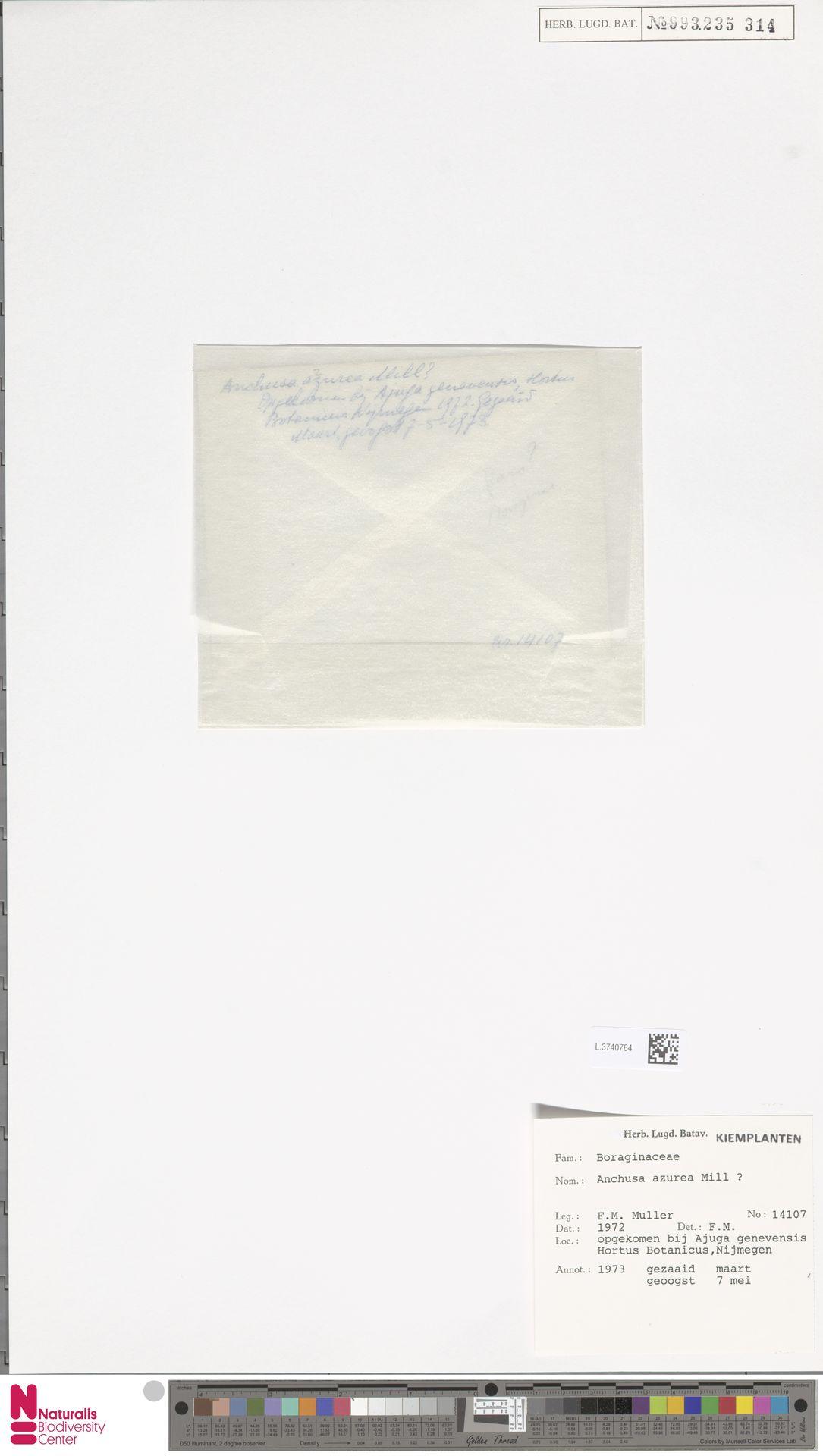 L.3740764 | Anchusa azurea Mill.