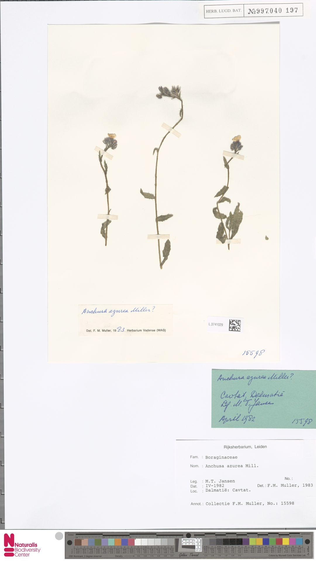 L.3741029 | Anchusa azurea Mill.