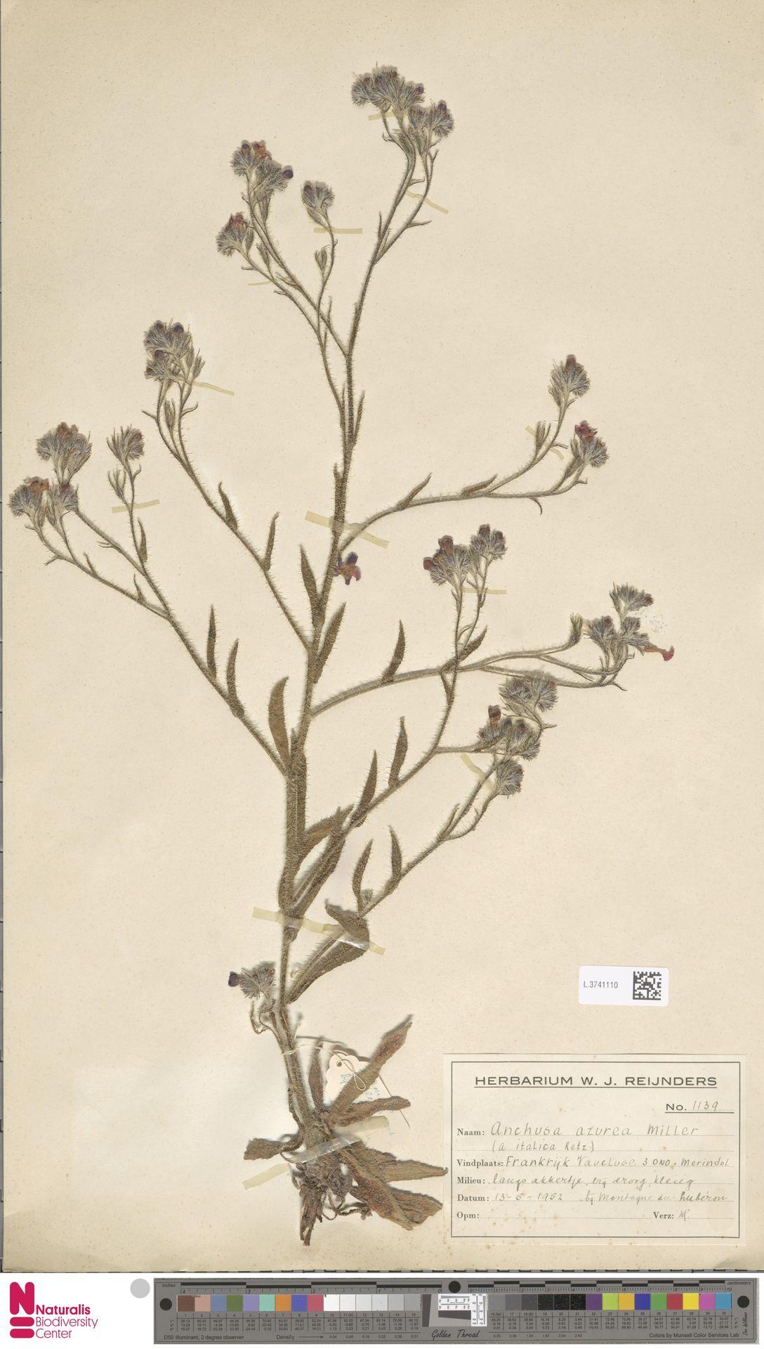 L.3741110 | Anchusa azurea Mill.