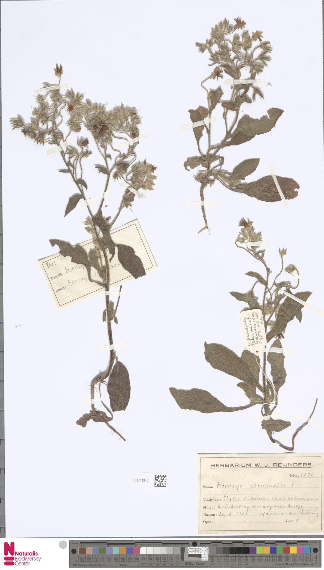 L.3741345 | Borago officinalis L.
