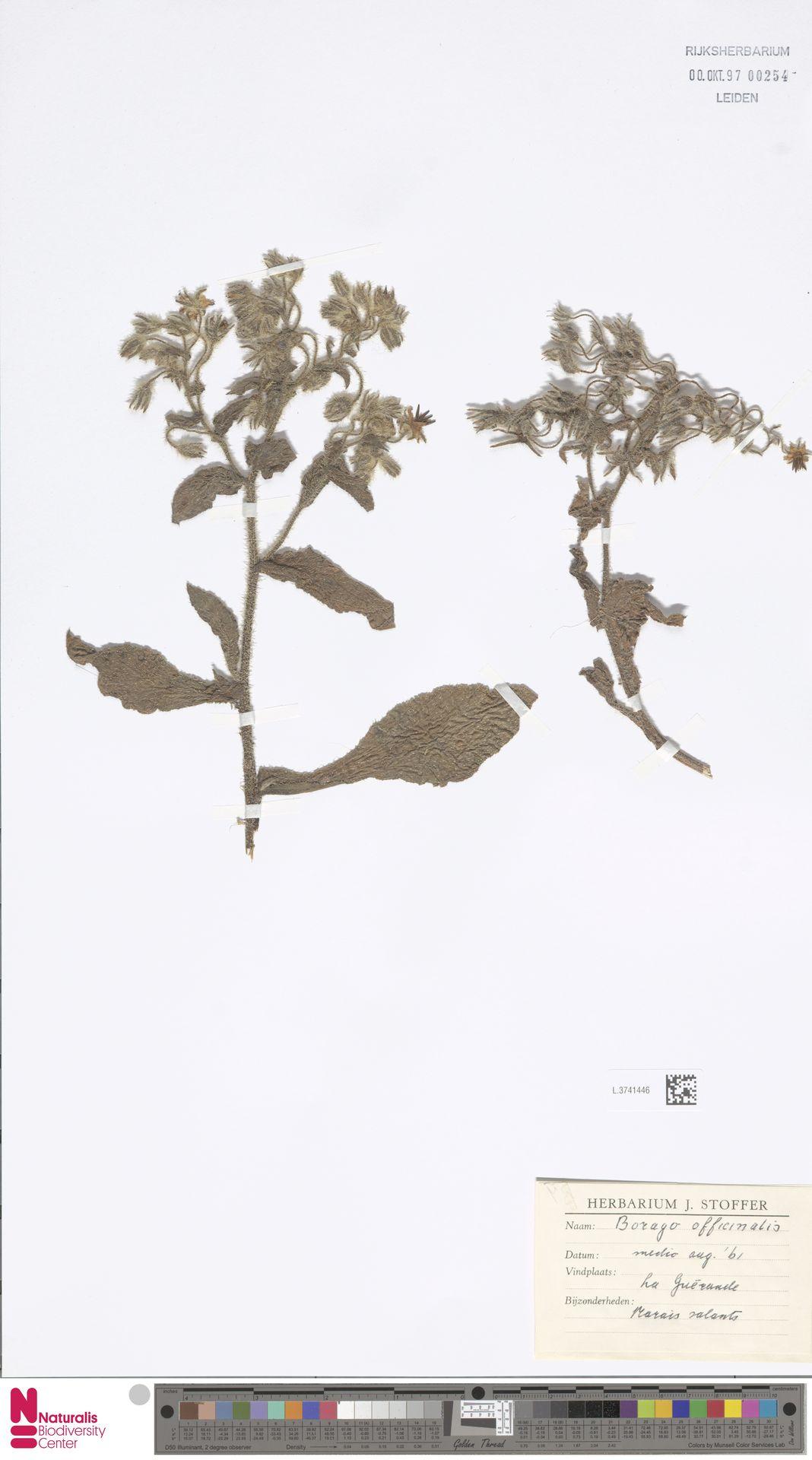 L.3741446 | Borago officinalis L.