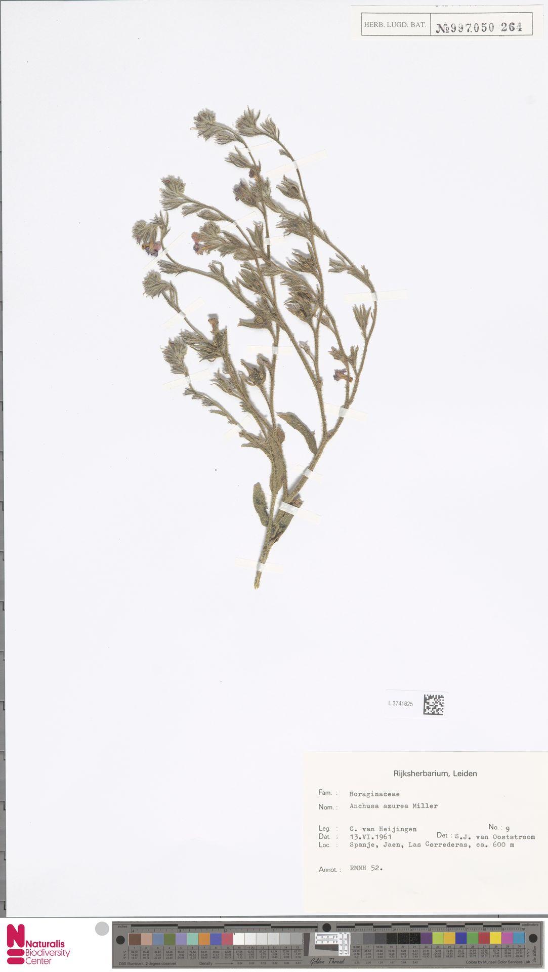 L.3741625 | Anchusa azurea Mill.
