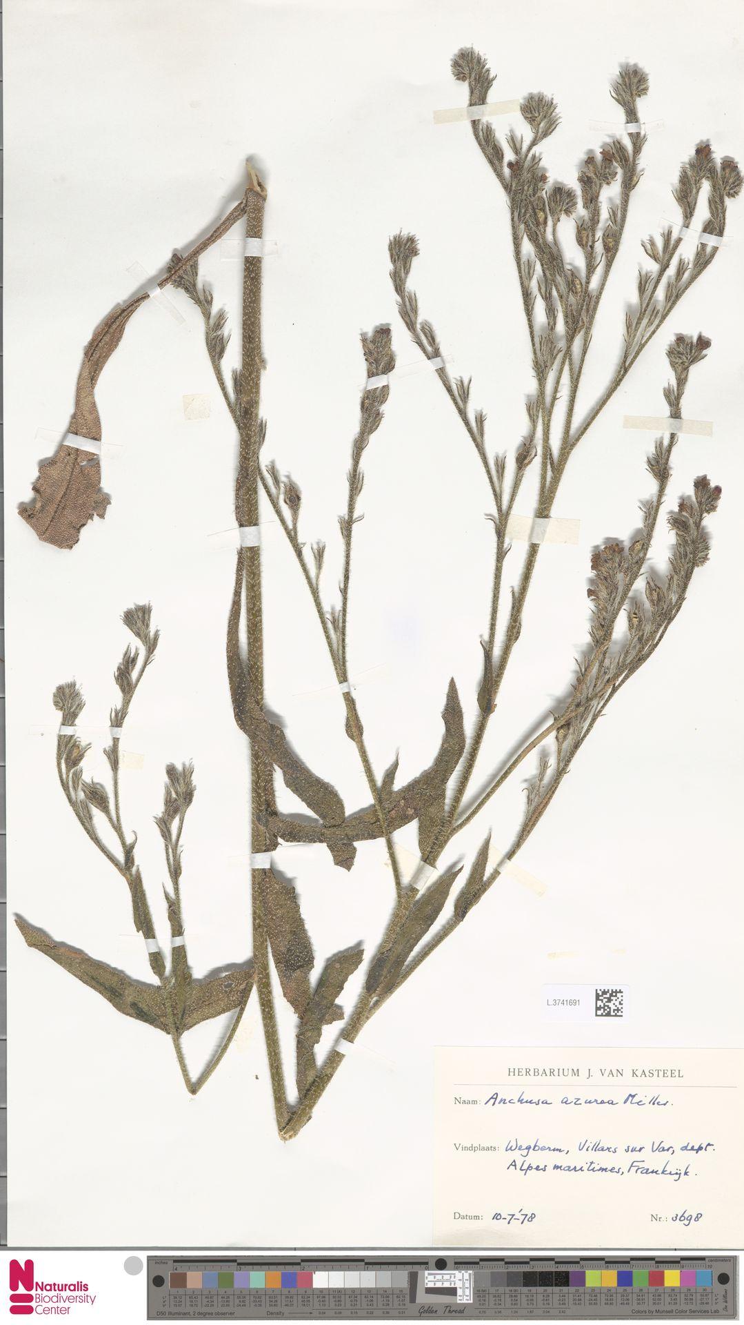 L.3741691 | Anchusa azurea Mill.