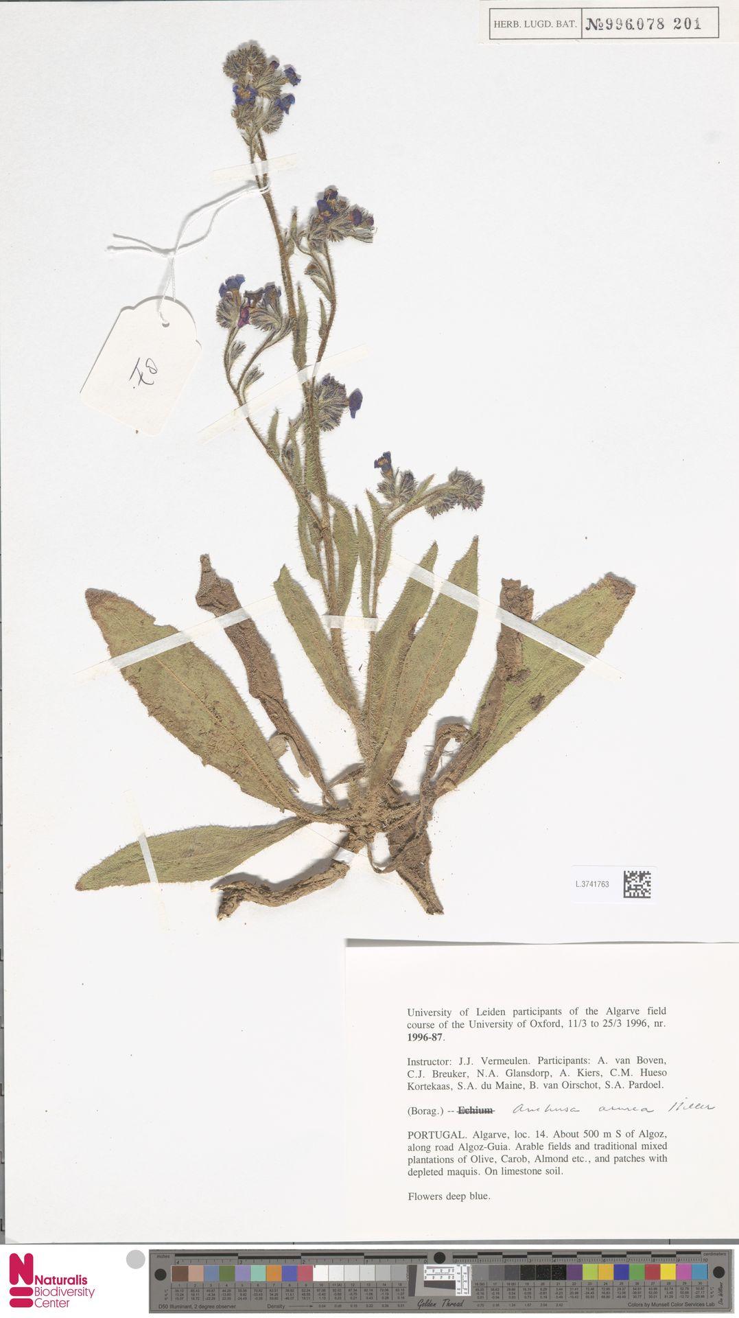 L.3741763 | Anchusa azurea Mill.
