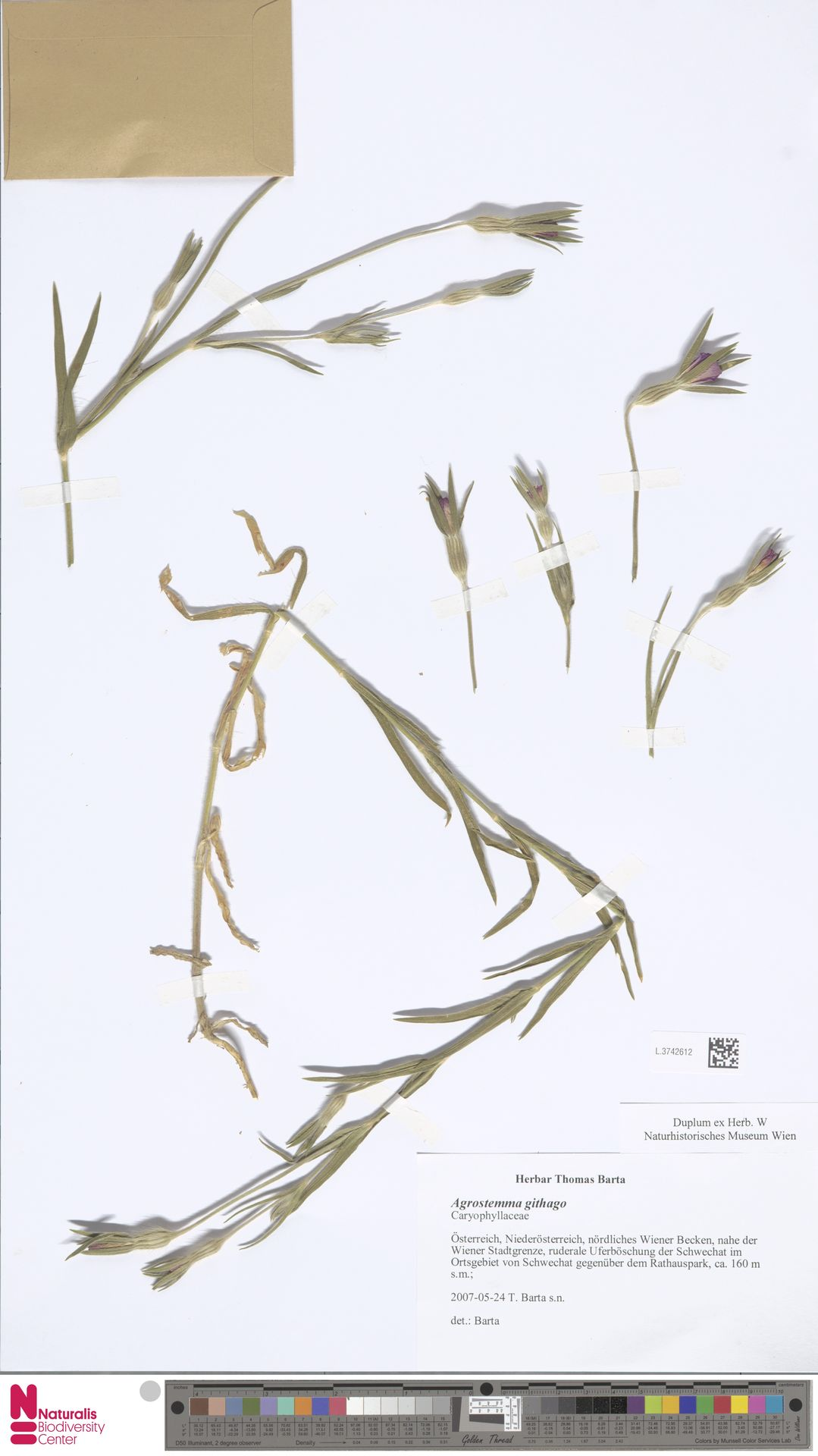L.3742612 | Agrostemma githago L.