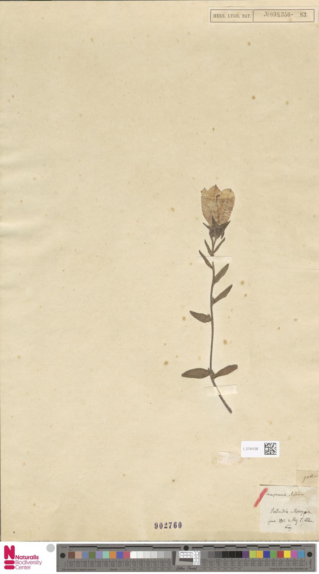 L.3744108 | Campanula medium L.