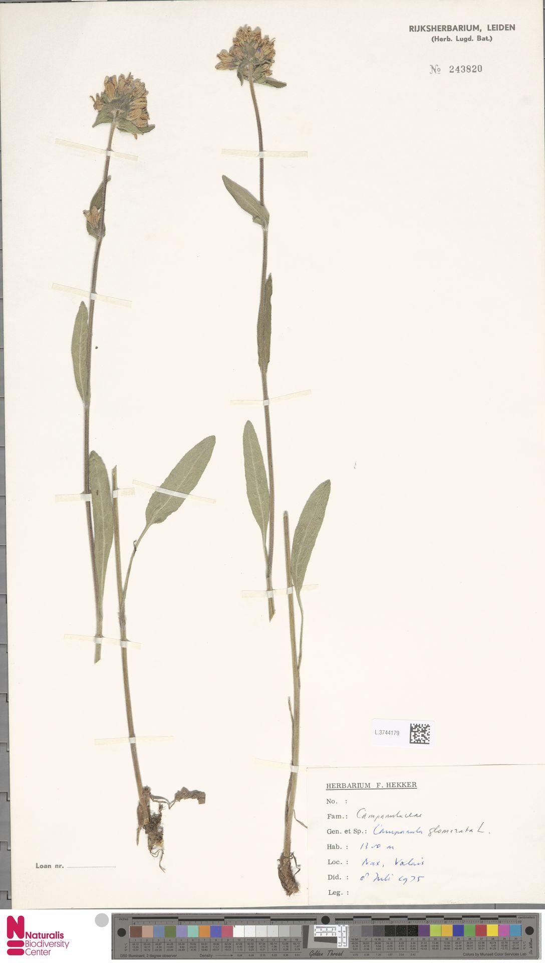 L.3744179 | Campanula glomerata L.