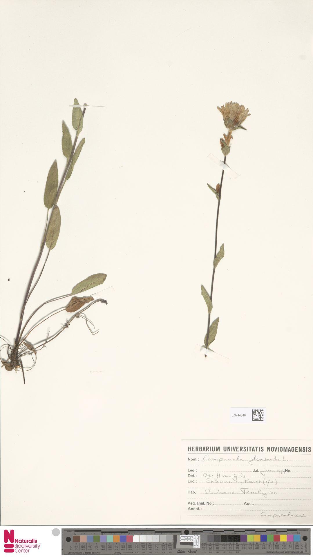 L.3744346 | Campanula glomerata L.