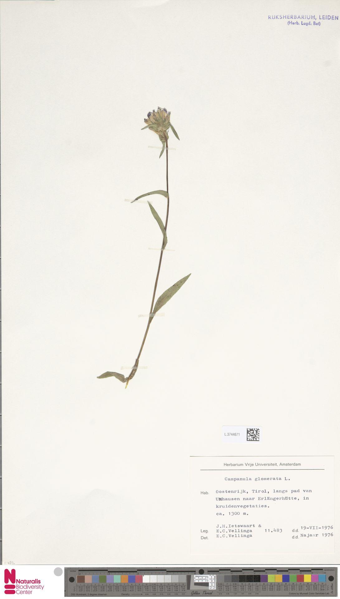 L.3744671 | Campanula glomerata L.