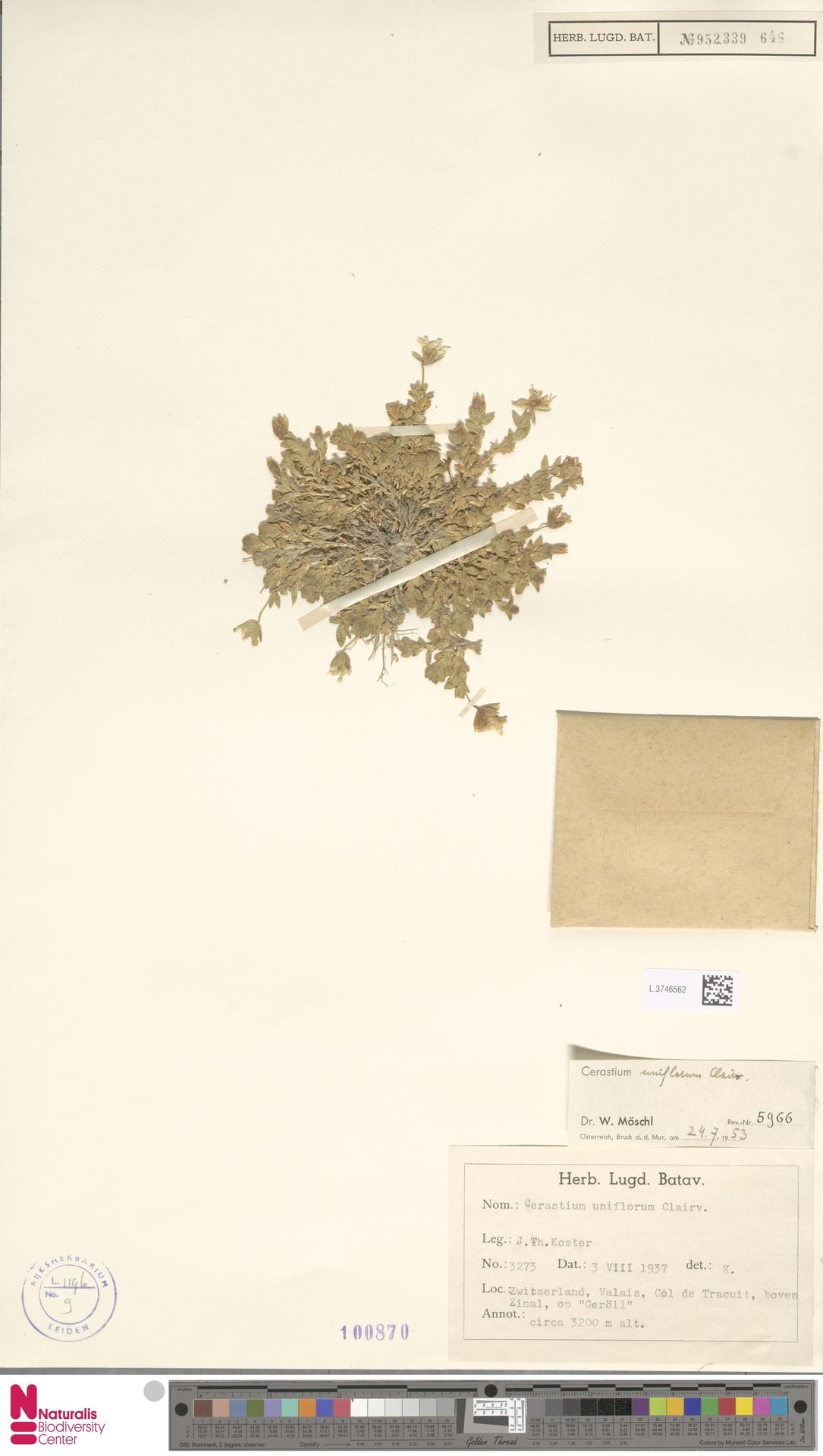 L.3746562 | Cerastium uniflorum Clairv.