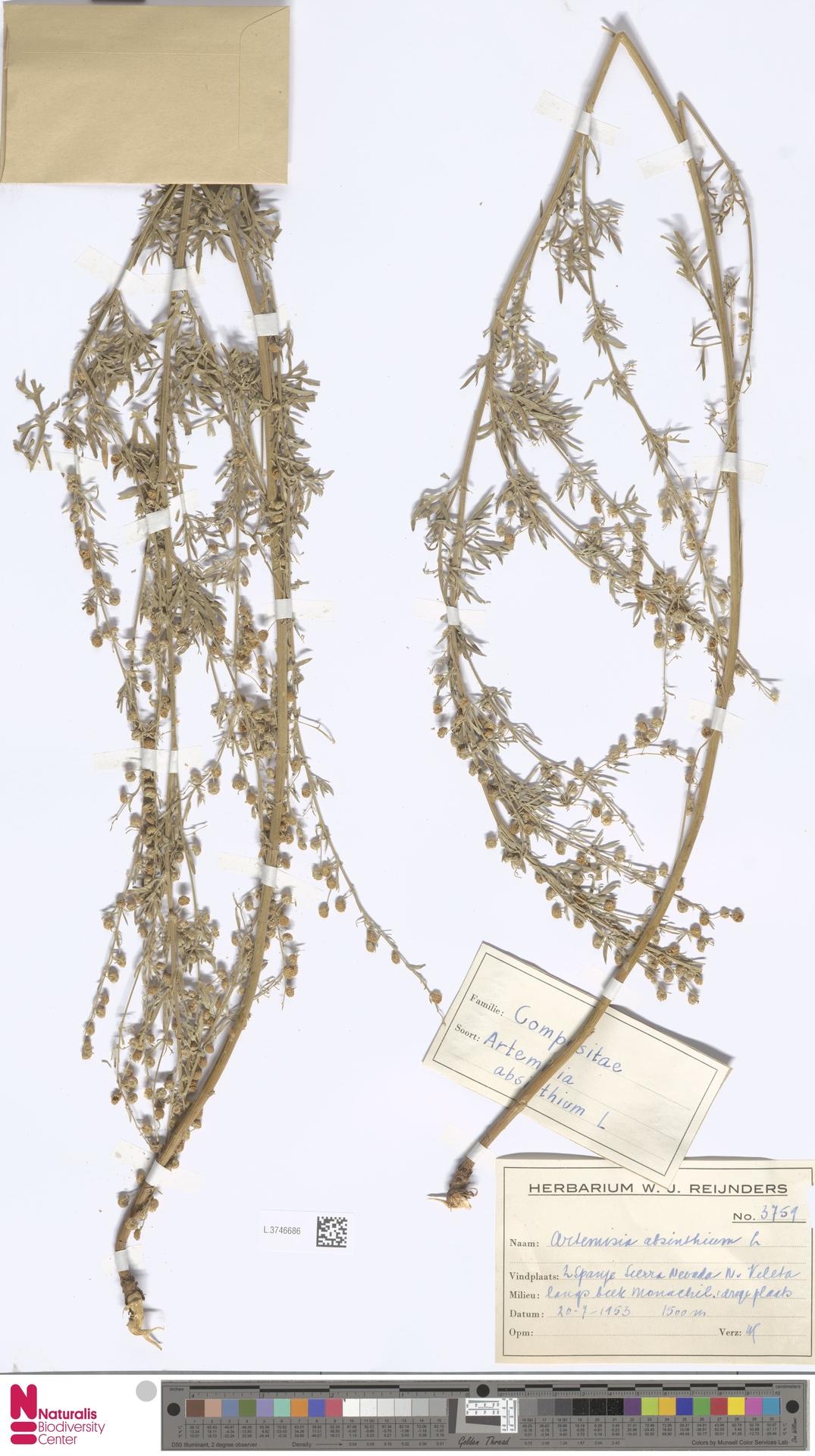 L.3746686   Artemisia absinthium L.