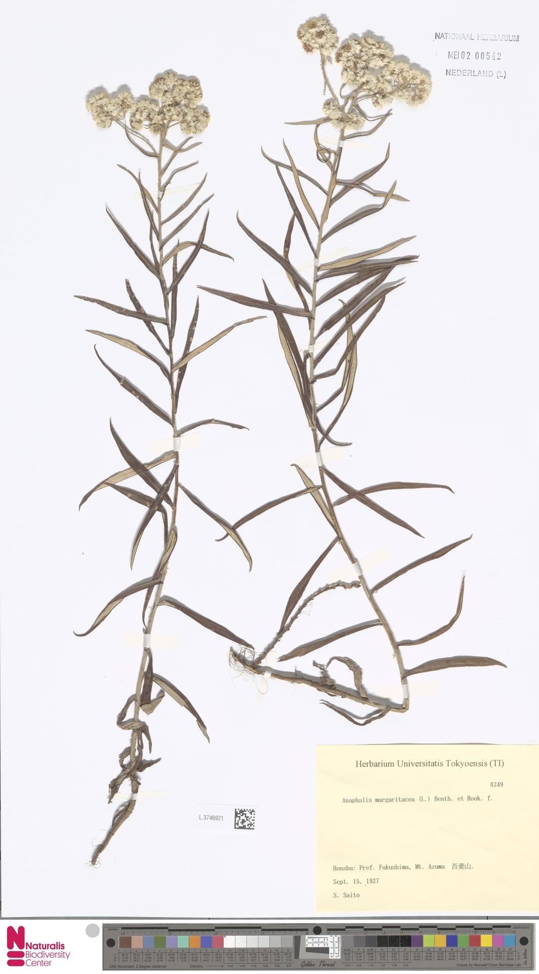L.3746921 | Anaphalis margaritacea (L.) Benth. & Hook.f.
