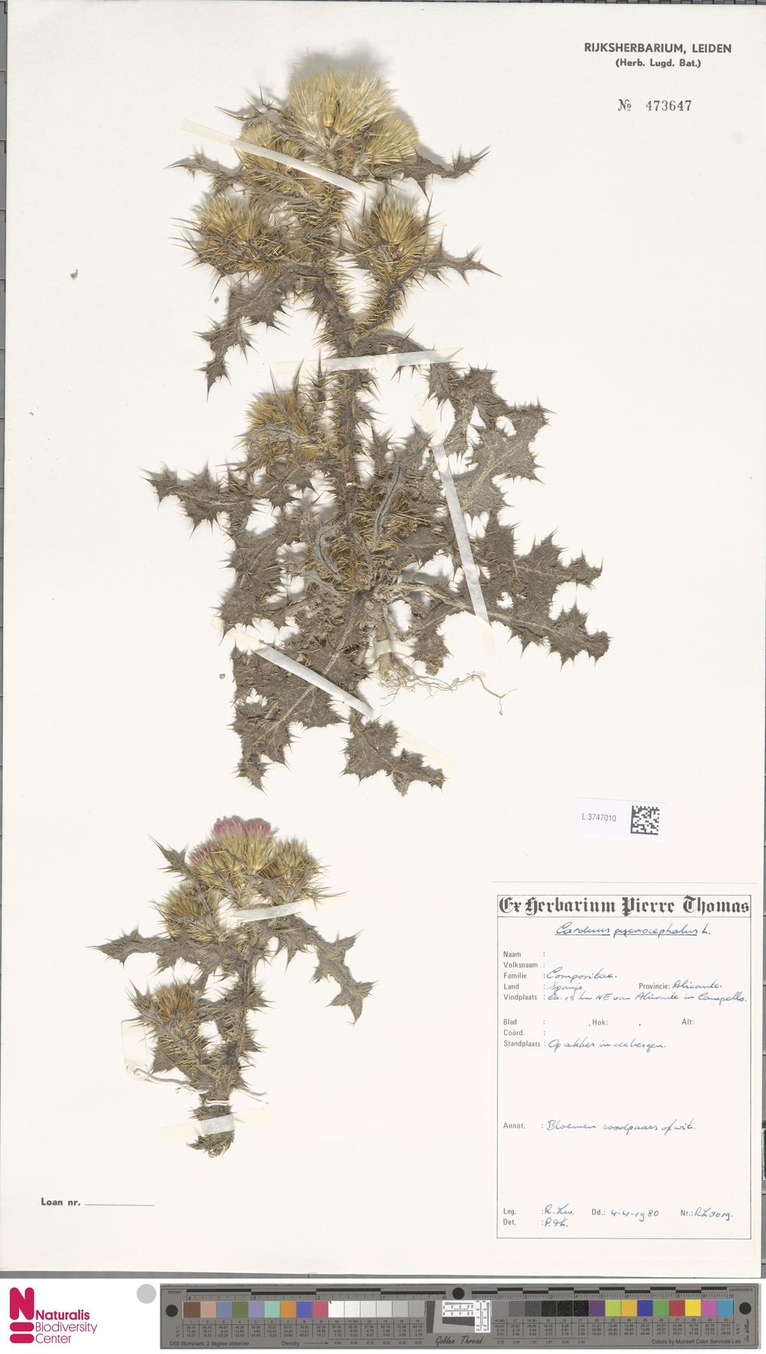 L.3747010 | Carduus pycnocephalus L.