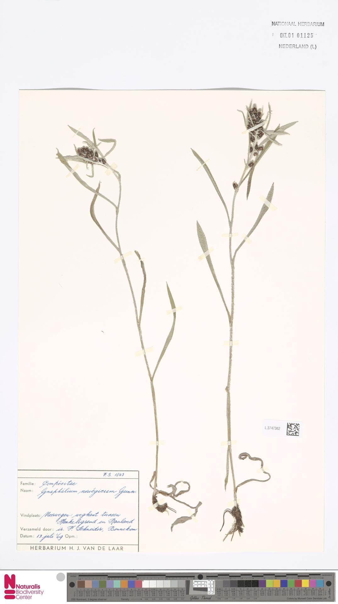 L.3747362 | Gnaphalium norvegicum Gunnerus