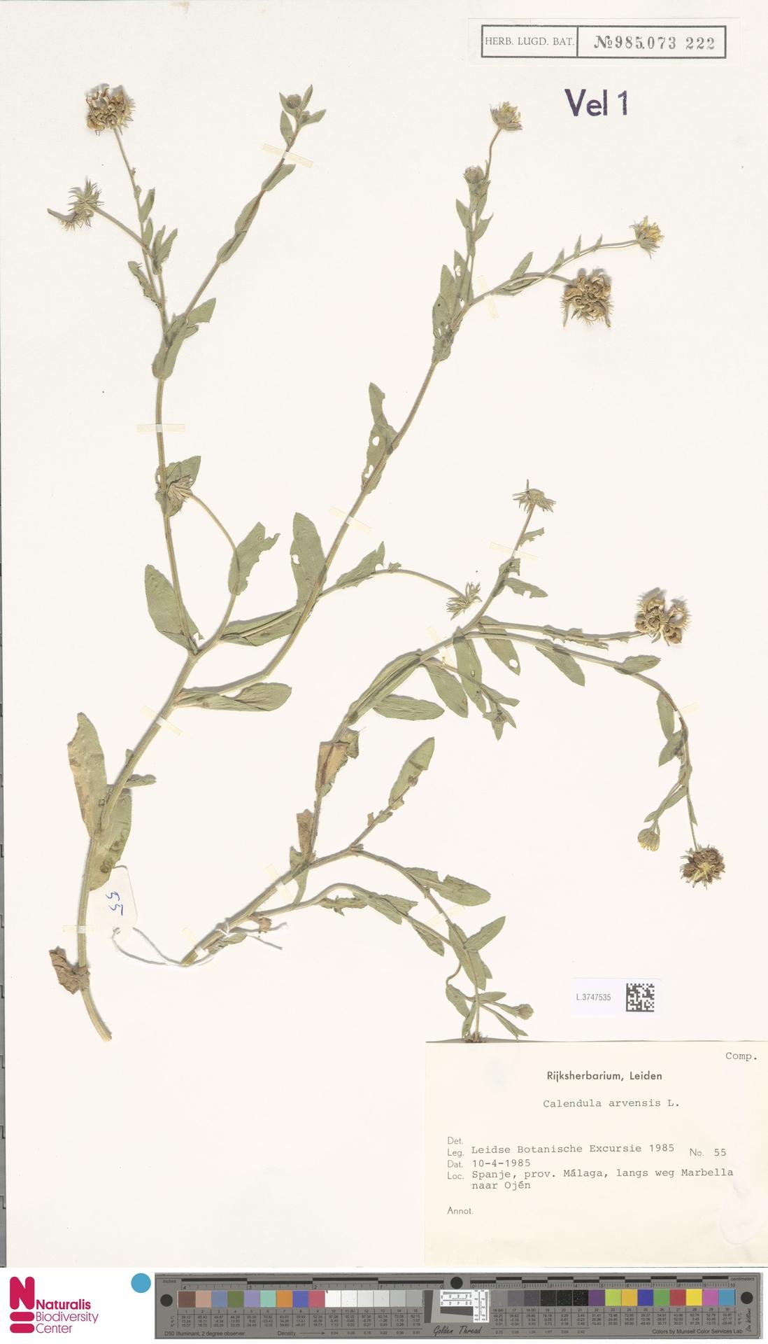 L.3747535 | Calendula arvensis (Vaill.) L.