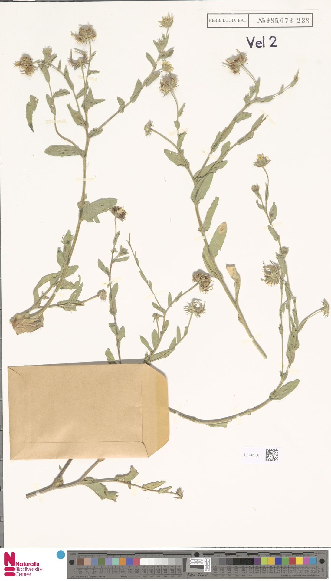 L.3747536 | Calendula arvensis (Vaill.) L.