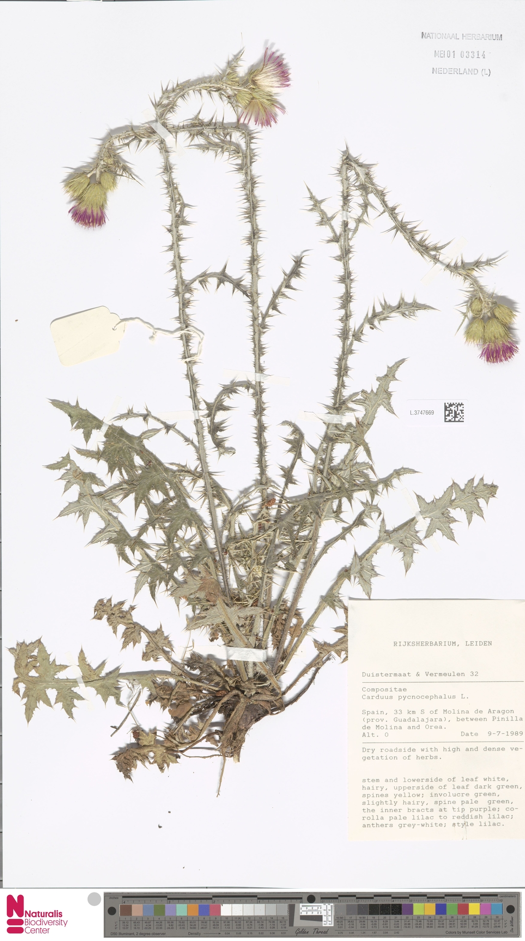 L.3747669 | Carduus pycnocephalus L.