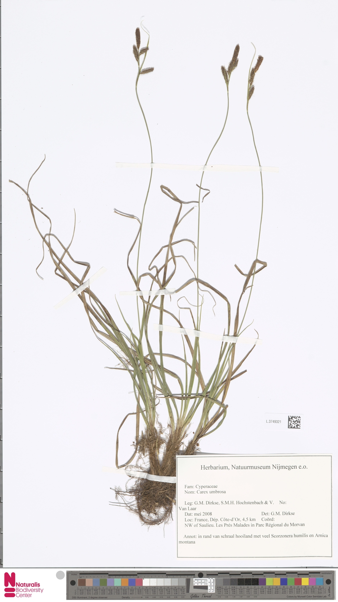 L.3749321 | Carex umbrosa Host