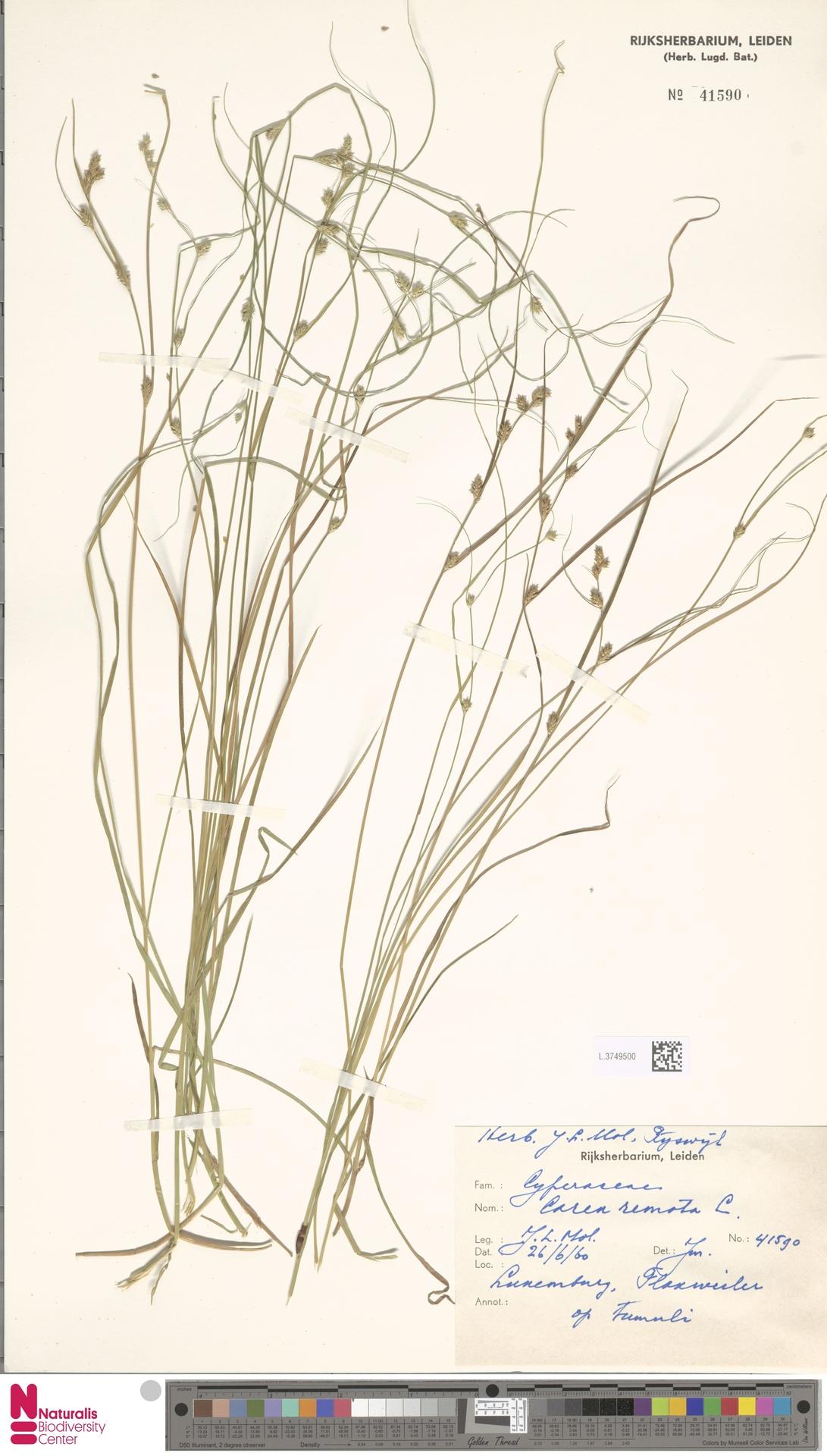 L.3749500 | Carex remota L.