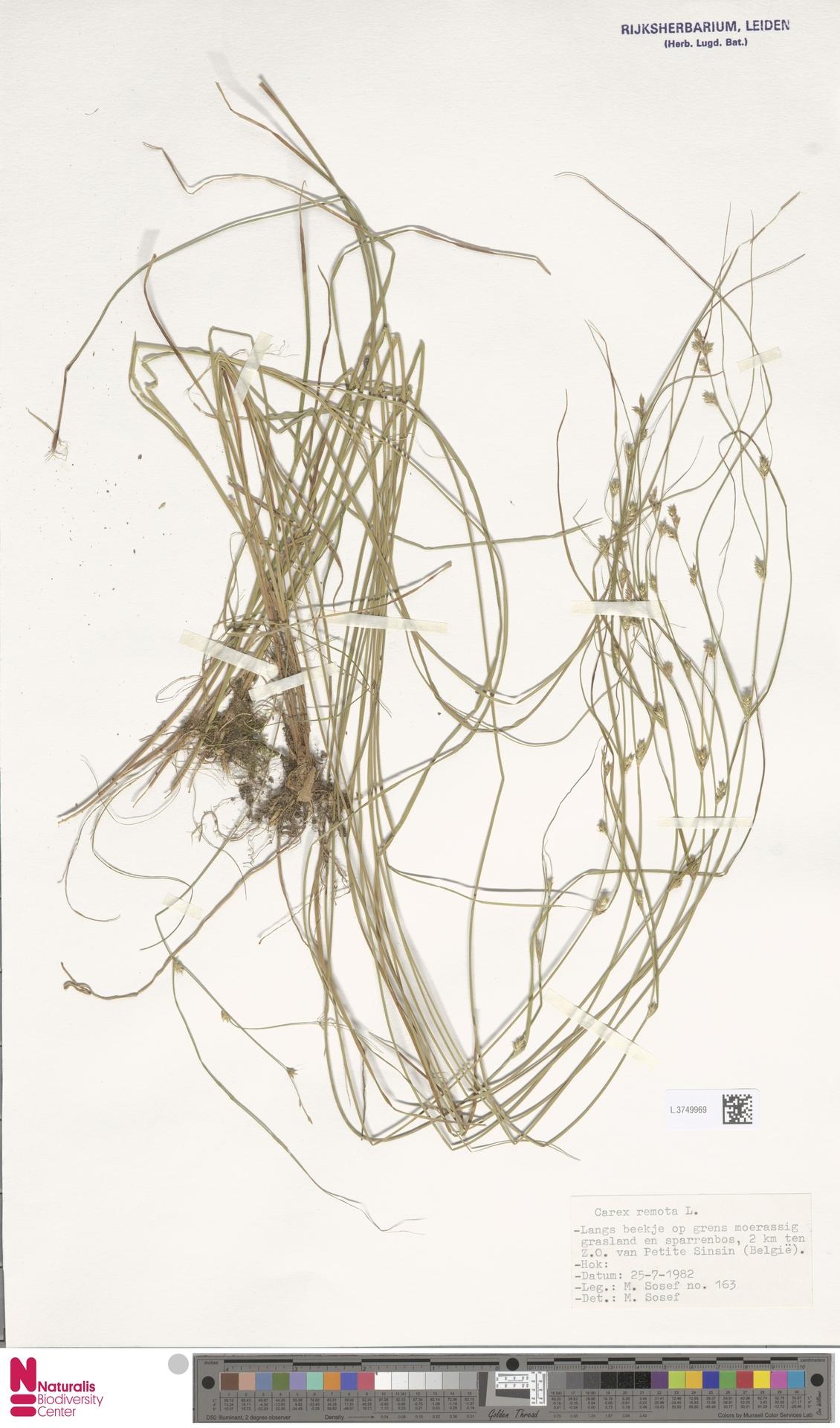 L.3749969 | Carex remota L.