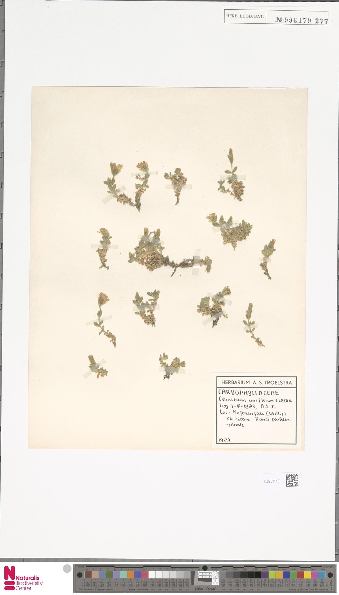 L.3751110 | Cerastium uniflorum Clairv.