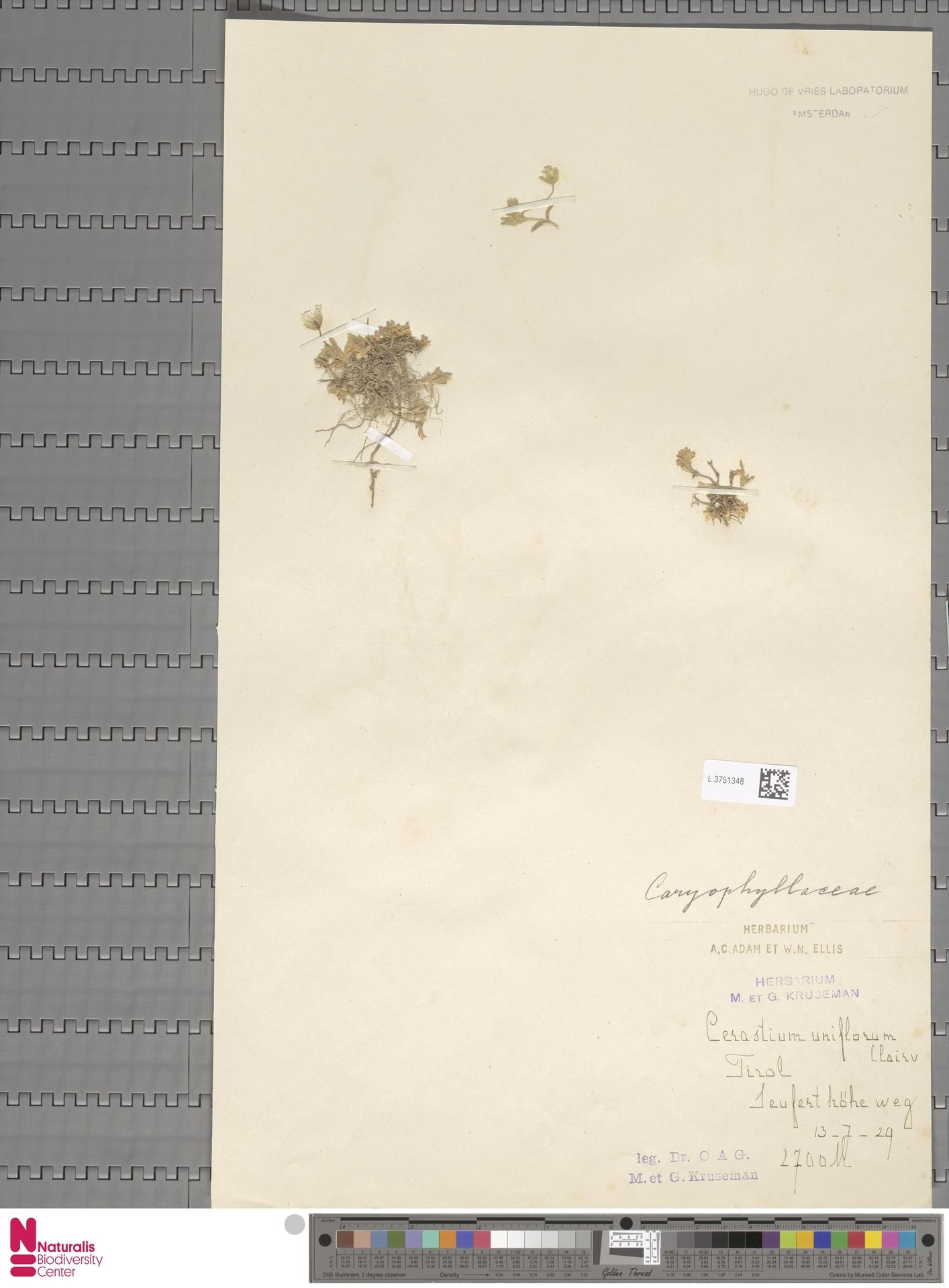 L.3751348 | Cerastium uniflorum Clairv.