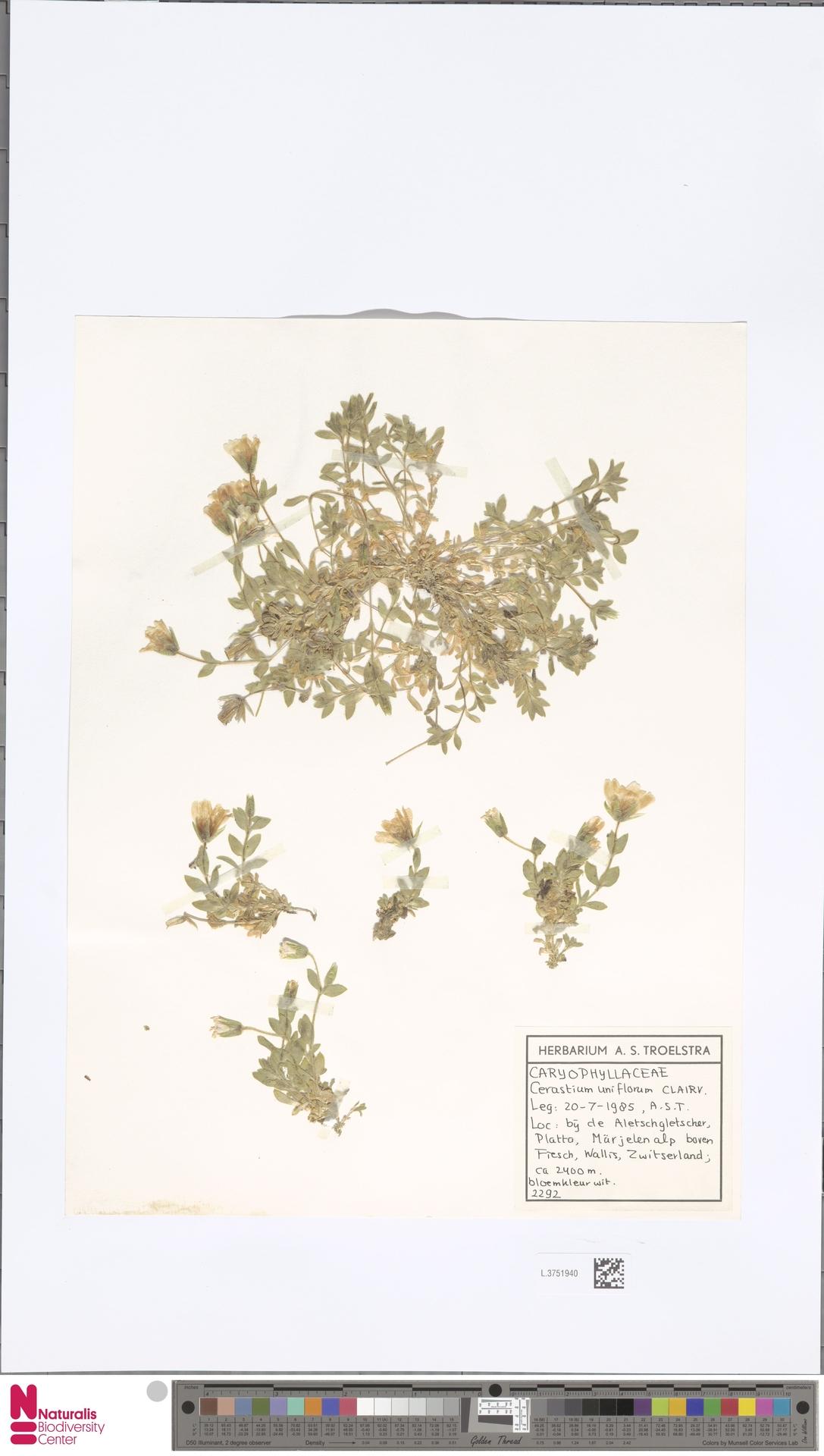 L.3751940   Cerastium uniflorum Clairv.
