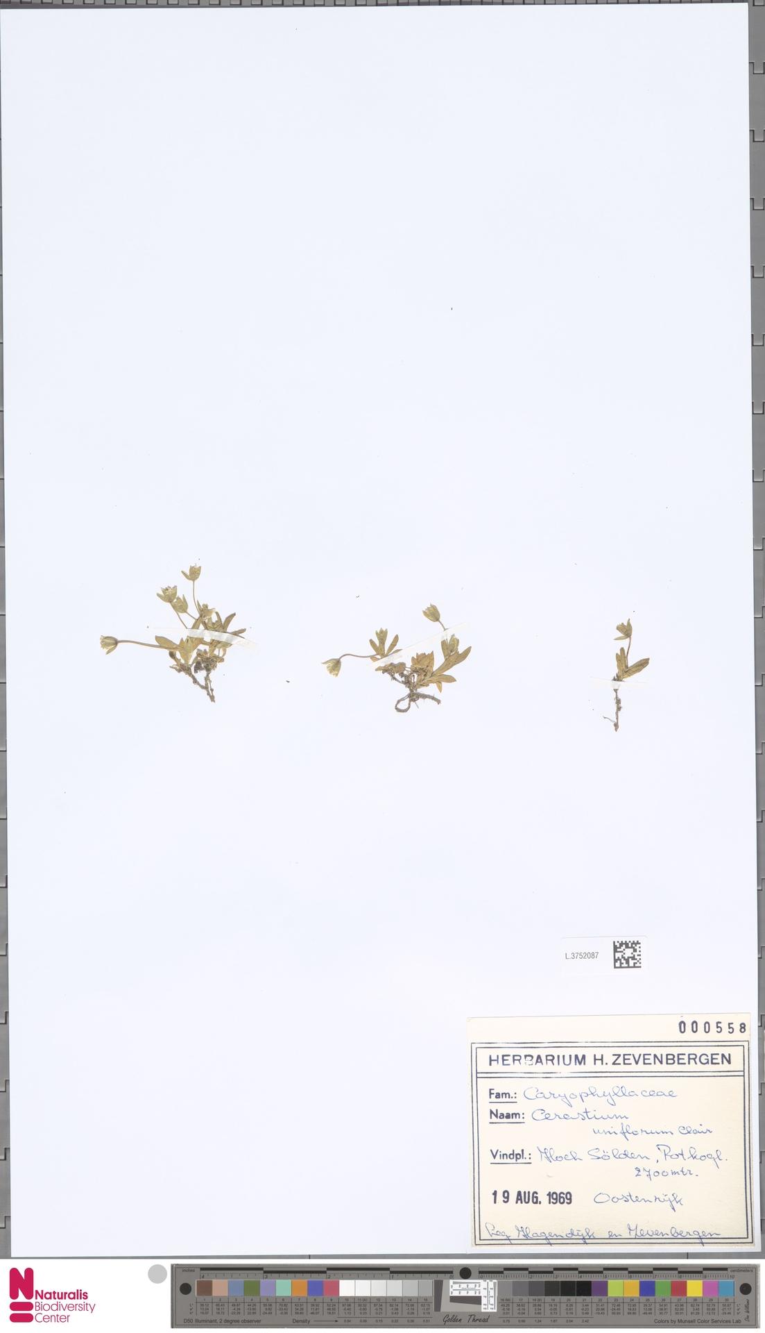L.3752087 | Cerastium uniflorum Clairv.