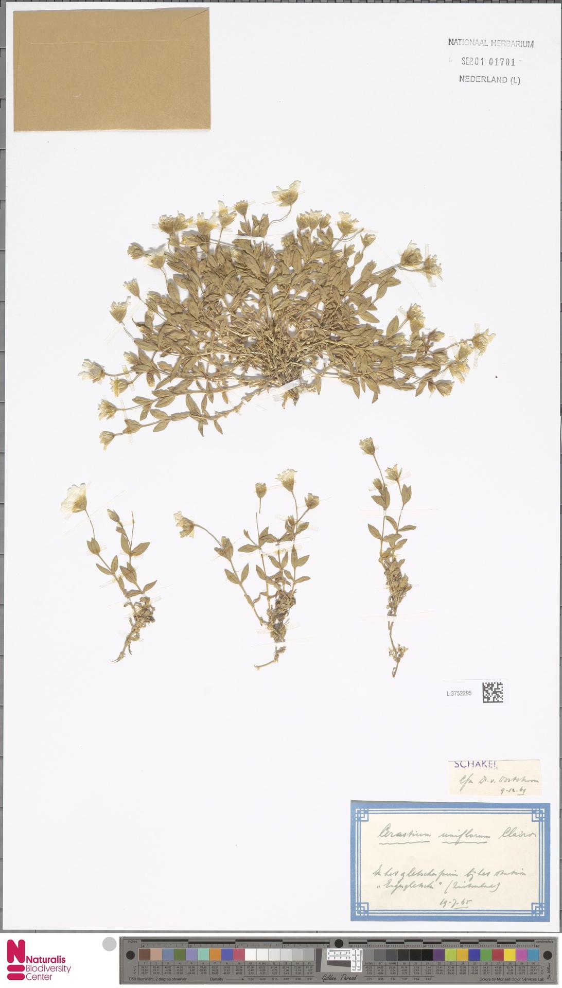 L.3752295 | Cerastium uniflorum Clairv.
