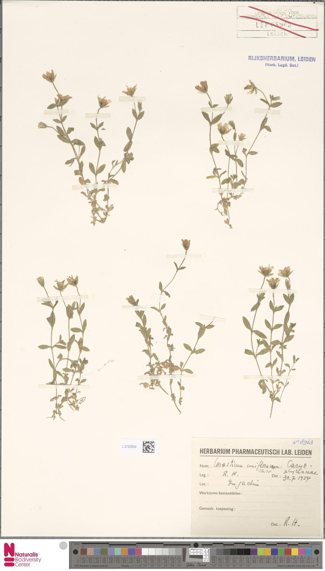 L.3752634 | Cerastium uniflorum Clairv.