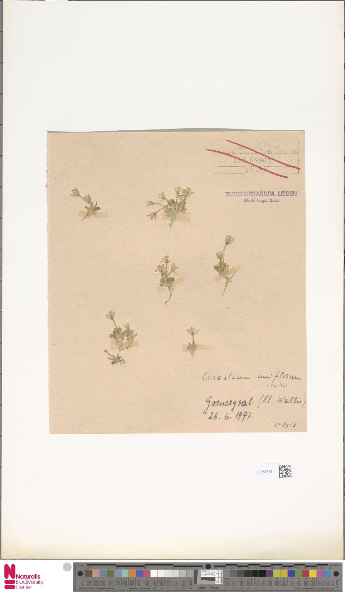 L.3752635 | Cerastium uniflorum Clairv.