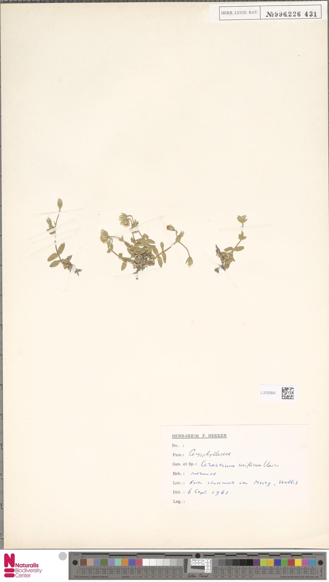L.3752854 | Cerastium uniflorum Clairv.