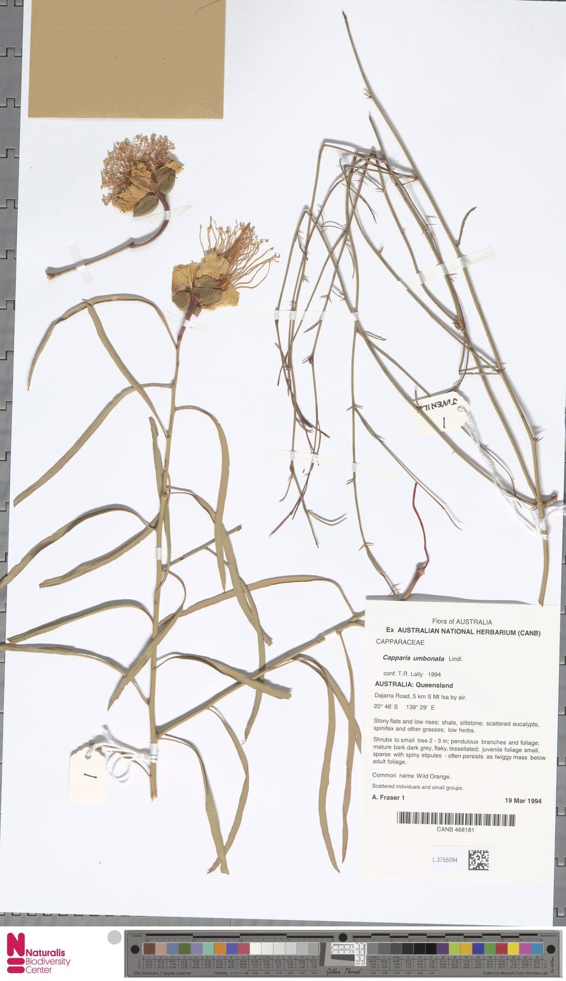 L.3755094 | Capparis umbonata Lindl.