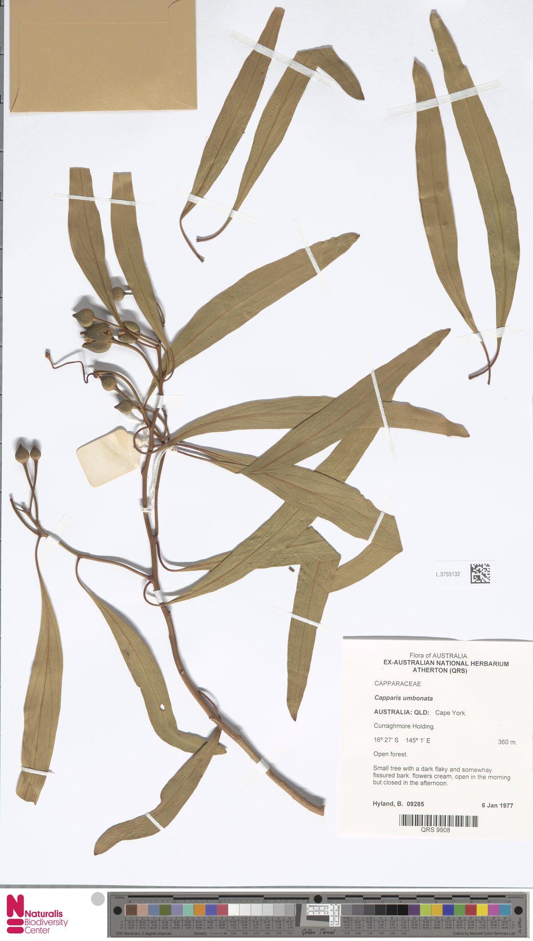L.3755132 | Capparis umbonata Lindl.