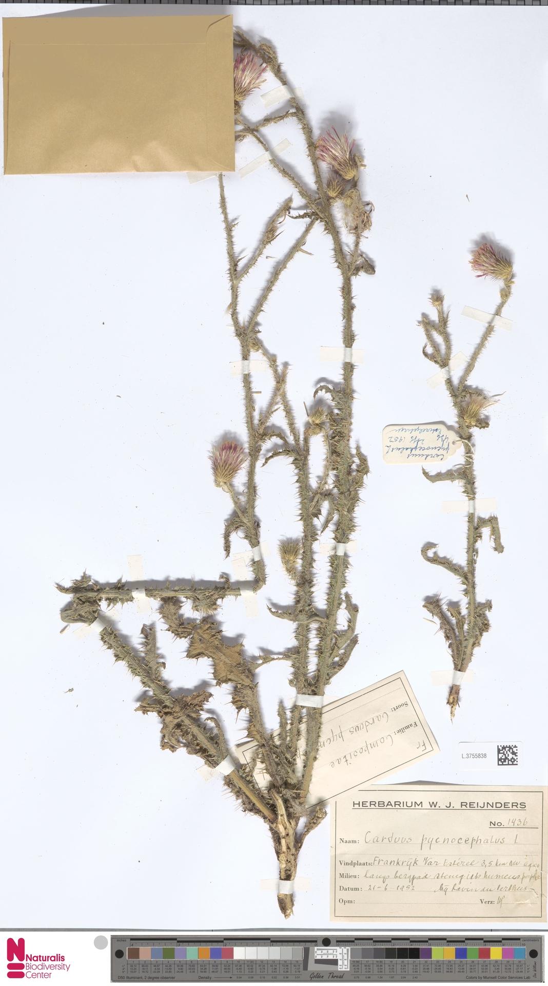 L.3755838 | Carduus pycnocephalus L.