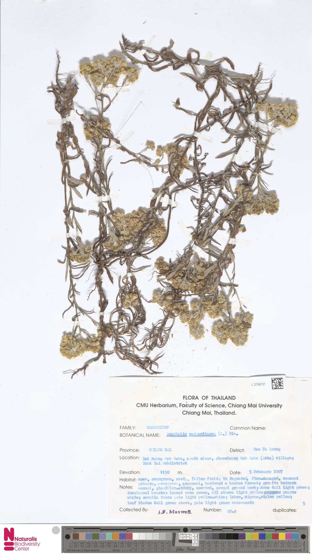 L.3756151   Anaphalis margaritacea (L.) Benth. & Hook.f.