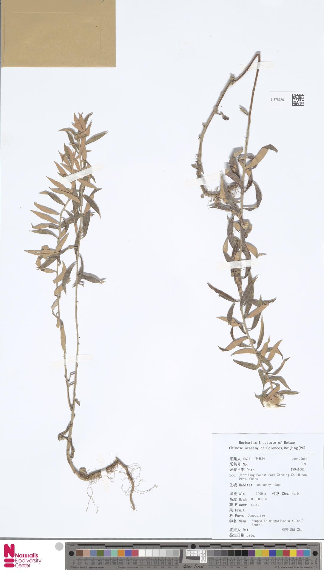 L.3757361   Anaphalis margaritacea (L.) Benth. & Hook.f.
