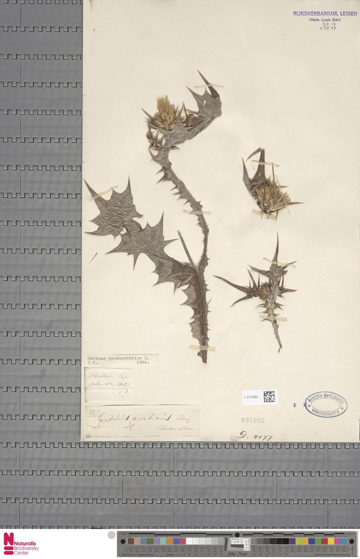 L.3757985 | Carduus pycnocephalus L.