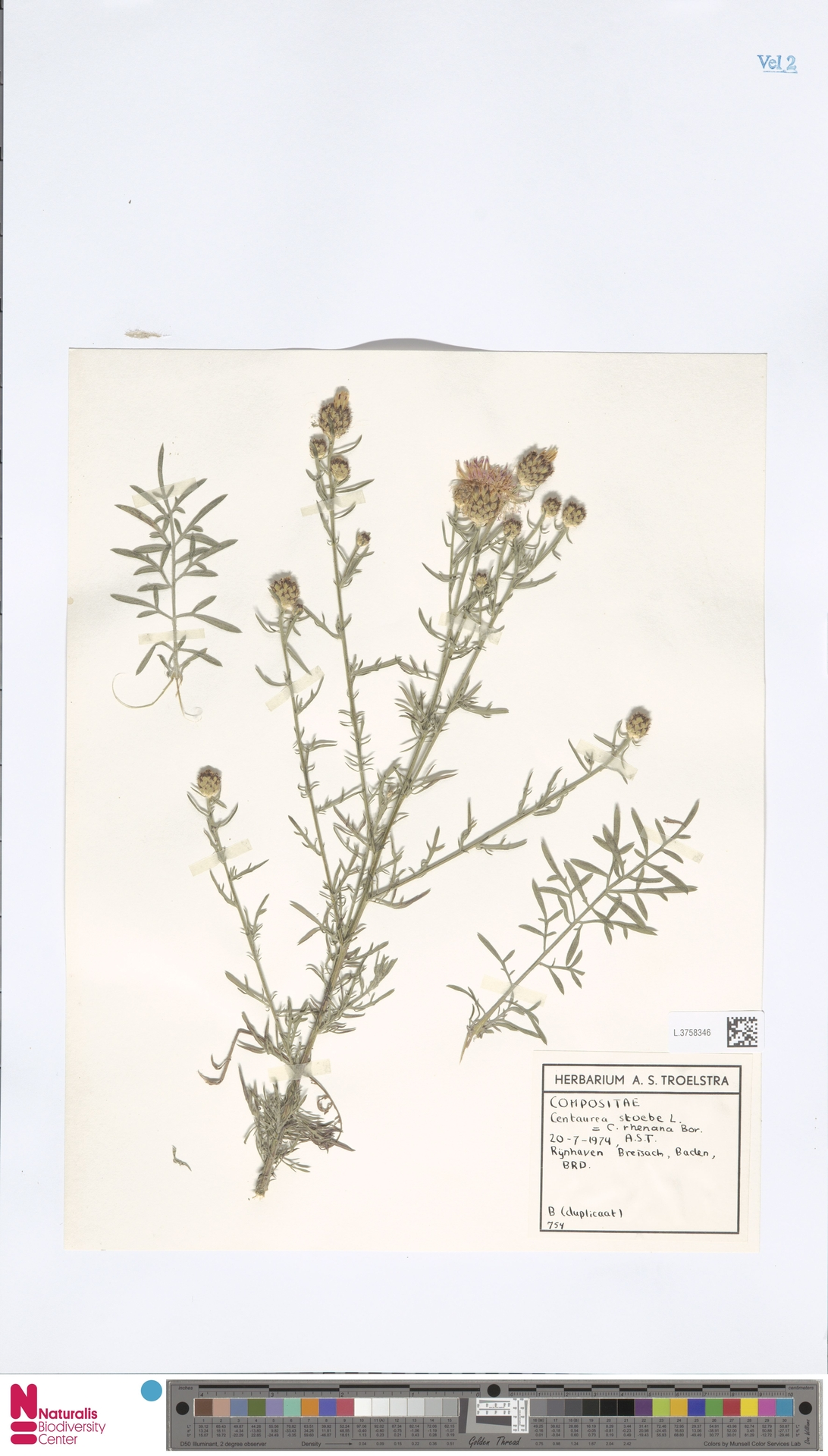 L.3758346   Centaurea stoebe L.