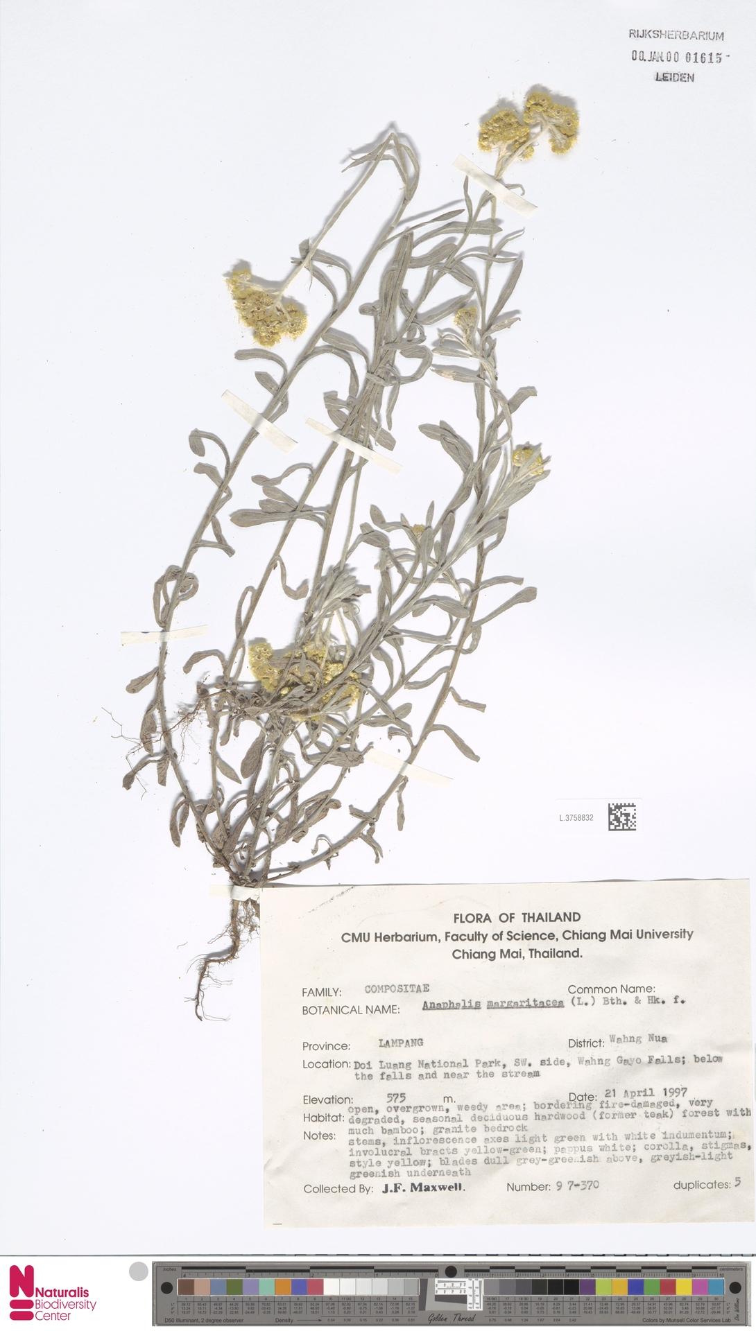 L.3758832 | Anaphalis margaritacea (L.) Benth. & Hook.f.
