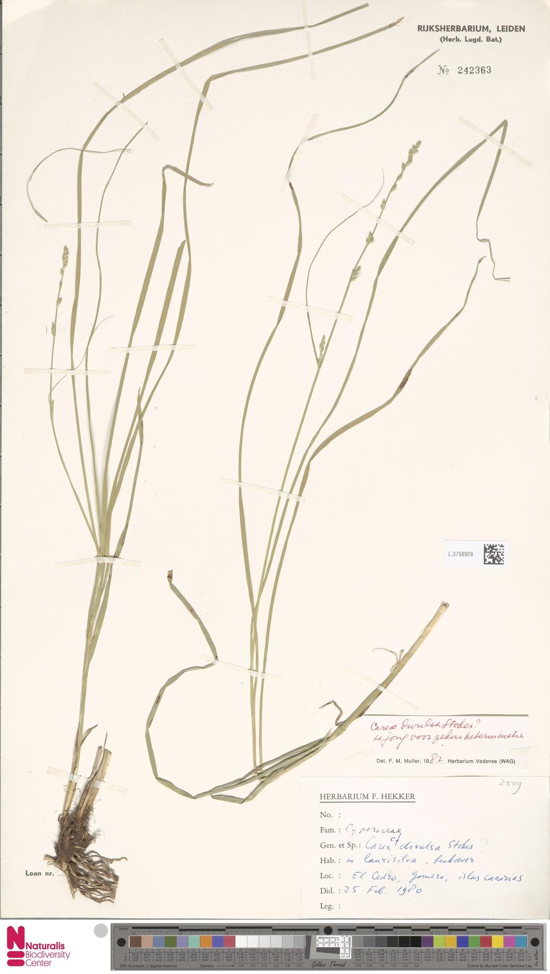 L.3758928   Carex divulsa Stokes