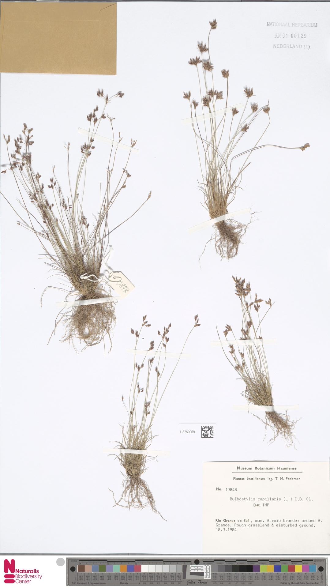 L.3759069 | Bulbostylis capillaris (L.) Kunth ex C.B.Clarke
