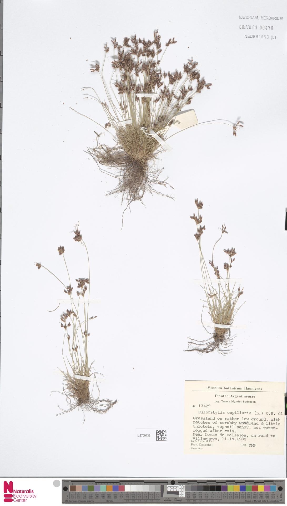 L.3759132 | Bulbostylis capillaris (L.) Kunth ex C.B.Clarke