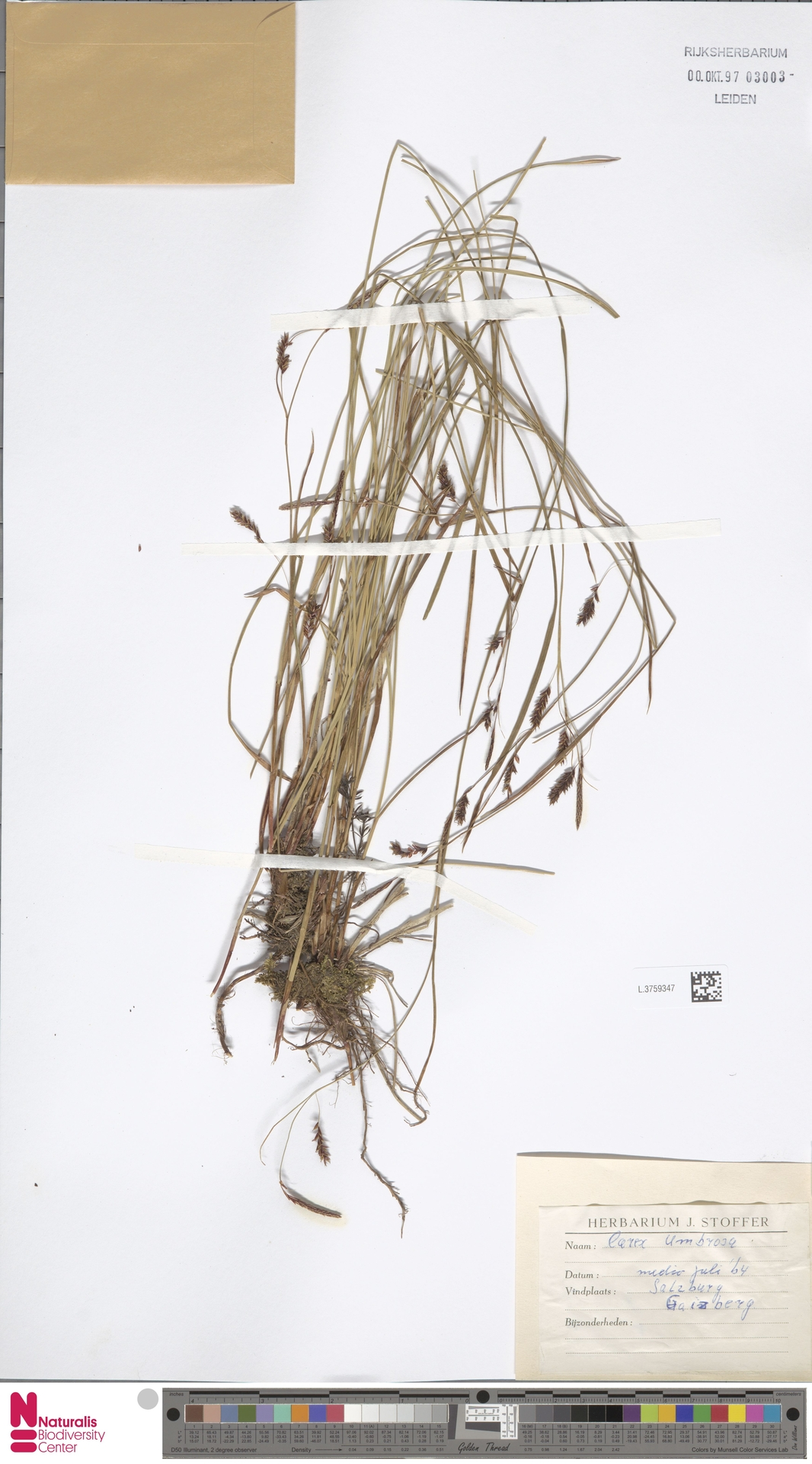 L.3759347   Carex umbrosa Host